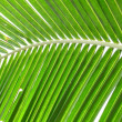 Coconut leaf structure — Stock Photo