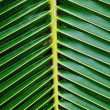 Green coconut leaf — Stock Photo