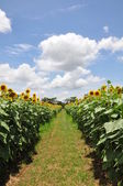 Road in sunflower field — Stock Photo