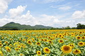 Yellow sunflower field — Stok fotoğraf