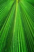 Palmae leaf — Stock Photo