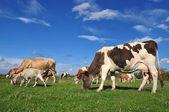 Vacas e uma cabra em uma pastagem de verão. — Fotografia Stock