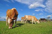 Kor på ett sommarbete. — Stockfoto