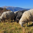 Sheep on a hillside. - Foto Stock