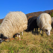 Sheep on a hillside. - Stock Photo
