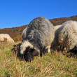 Sheep on a hillside. - Photo