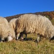 Sheep on a hillside. - Stok fotoğraf