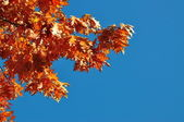 Autumn branches of an oak. — Stock fotografie