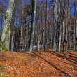 Autumn beechen wood. — Stock Photo