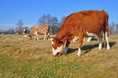 Cow on an autumn pasture. — Stock Photo