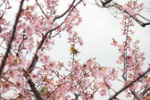 Zosterops on cherry blossom — Stock Photo