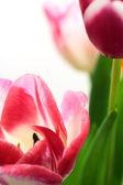 郁金香花朵 — 图库照片