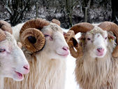 Aries in winter — Stockfoto