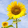 Beautiful yellow Sunflower with bee and cloud background — Zdjęcie stockowe