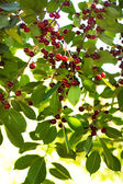 Lots of ripe cherries on a branch — Stock Photo