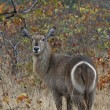 Stock Photo: Waterbuck
