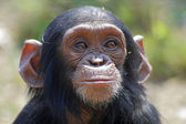 Jonge chimp — Stockfoto