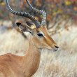 Male impala antelope - Stock Photo