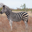 African zebra in its natural environment. - Stock Photo