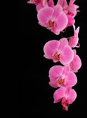 Orchid on a black background — Stockfoto
