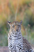 Portrait of leopard — Stockfoto