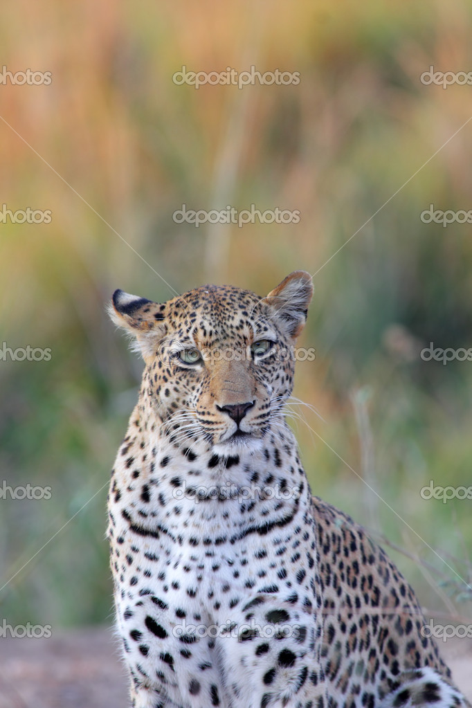 Portrait of african leopard in Mana Pools NP, Zimbabwe — Stock Photo #5151930