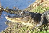 американский аллигатор — Стоковое фото
