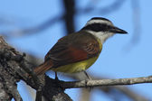 Kiskadee — Stock Photo