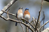 A pair of bluebirds — Stock Photo