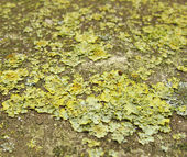 Close view of green yellow spurs and mold — Stock Photo