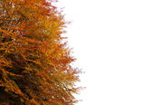 Tree in autumn with orange yellow leaves on white — Stock Photo