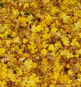 Mostly yellow carpet of autumn leaves — Stock Photo