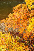 Typical autumn scene with colored leaves near the river in fores — Stock Photo