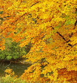 River and branches with yellow orange autumn leaves — Stock Photo