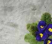 Violetta blommor i blå vit och gul framför grå grunge — Stockfoto