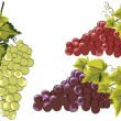 Grapes in vines vector — Stock Vector