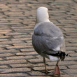Stock Photo: Seagull walk on roadway.