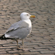 Seagull on roadway in city. — Stock Photo