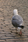 Seagull walk on roadway. — Stock Photo