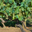 Stock Photo: Grapevines.