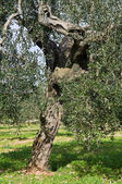 Olive-tree trunk. — Stock Photo
