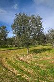 Olive-tree. — Stock Photo