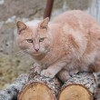 Royalty-Free Stock Photo: Ginger cat on logs.