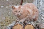Ginger cat on logs. — Stock Photo