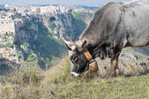 Cow grazing. The Sassi of Matera. Basilicata. — ストック写真