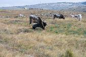 çayırda otlayan inekler. — Stok fotoğraf