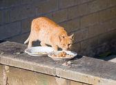 Ginger cat eating. — Stock Photo