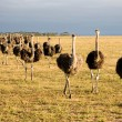 Stock Photo: Ostriches in South Africa