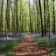 Bluebell forest — Stock Photo