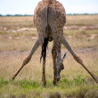Giraffe in Etosha — Stock Photo